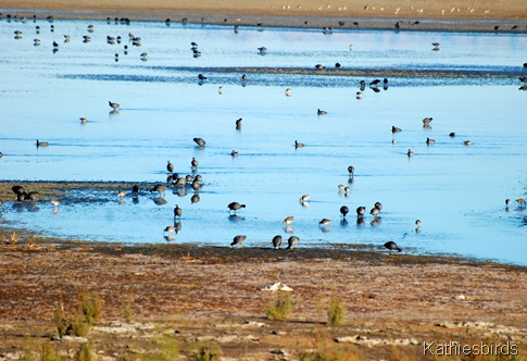 9. more coots-kab