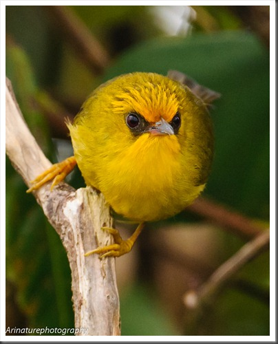 Golden Babbler2