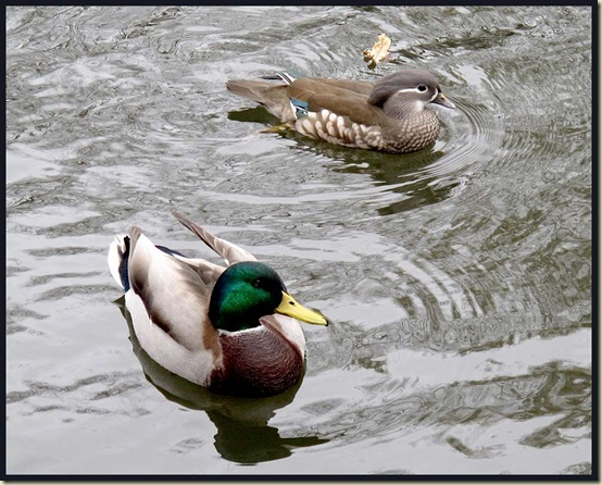 Mandarin Duck and a Mallard