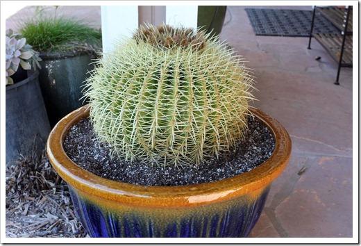 110206_Echinocactus-grusonii