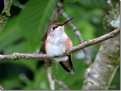 Young Rufous
