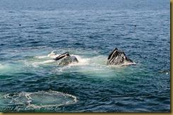 Humback Whales feeding