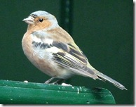 dunvegan chaffinch male2