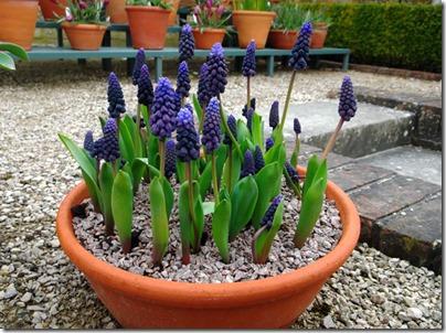 Grape Hyacinth-small