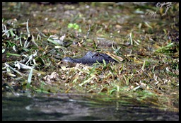 08 - Animals - Alligator 1c - camoflage