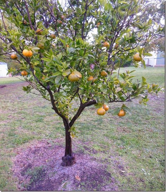 Mandarin Tree July 2014