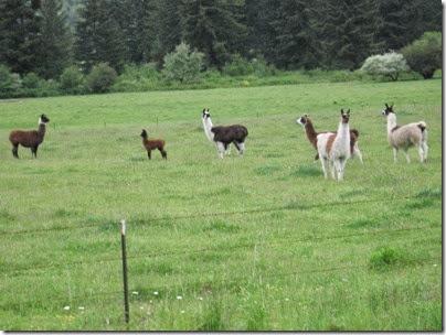 IMG_6557 Llamas along the BYCX line on May 27, 2007