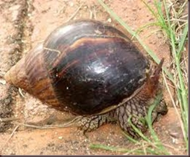 Amazing Pictures of Animals East African land snai,Achatina fulica,Mollusca. Alex (8)