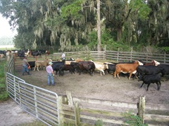 feed cows 033