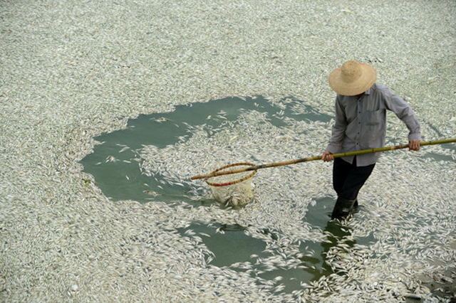A resident of Wuhan, China, cleared dead fish from the Fu River on Tuesday, 3 September 2013. Tests showed extremely high levels of ammonia downstream from a chemical plant. Agence France-Presse / Getty Images
