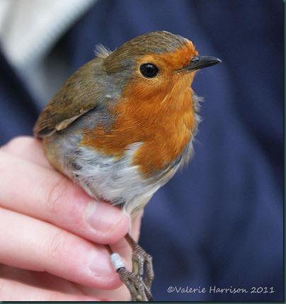 14--Robin