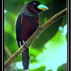 Black-and-Red Broadbill --- Cymbirhynchus macrorhynchus-01.jpg