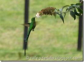 colibrí cometa colinegro  (Lesbia victoriae)