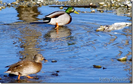 Pair of Mallard and a dead fish