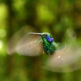 Hummingbird in Monte Verde Cloud Forest, Costa Rica.