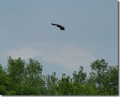 Bald Eagle on Susquehanna