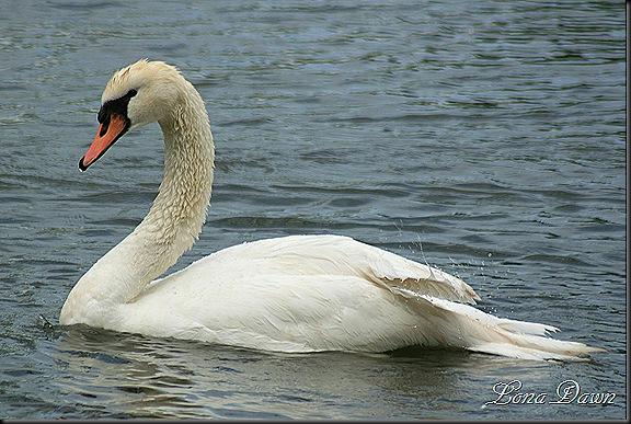 Yocotangee_SwanSwim