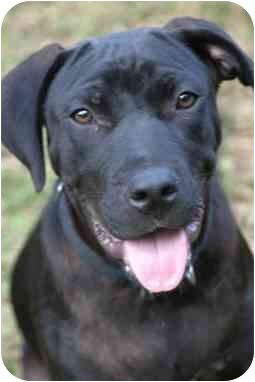 Rhett  from Staten Island, New York, is a black lab mix like Margo.