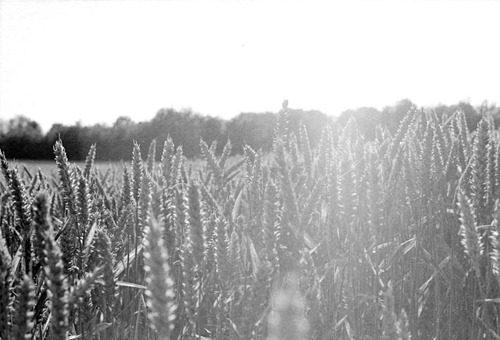 The-Wheat-Field-2---Film