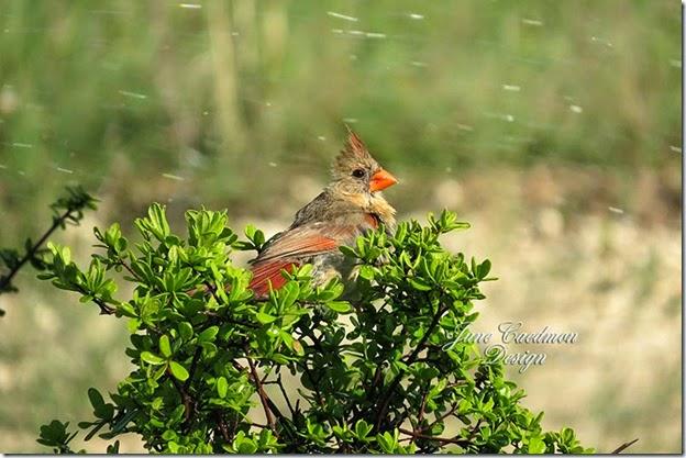 Cardinal_Bathing1