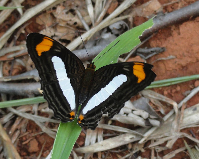 Adelpha iphiclus iphiclus (L., 1758). Colider (Mato Grosso, Brésil), mai 2011. Photo : Cidinha Rissi