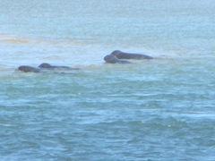 7.30.12 Chatham light beach seal near sand bar3