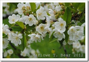 tn_2012-04-19 Spring Pear Blossoms (1)