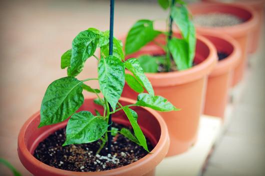 growing_chillies_fertilizer.jpg