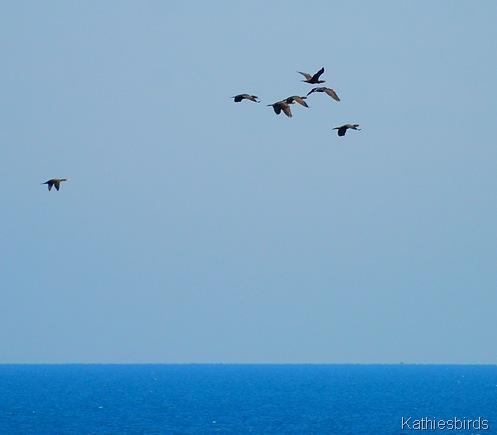 24. cormorants-kab
