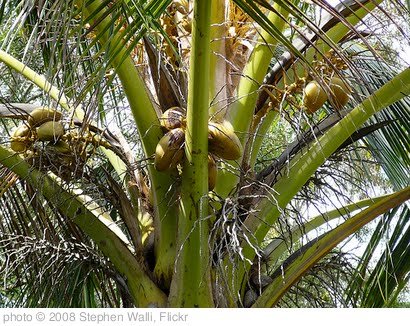 'wild coconuts' photo (c) 2008, Stephen Walli - license: http://creativecommons.org/licenses/by-sa/2.0/