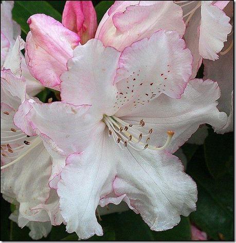 flores-facebook-tumblr-rosas-las flores-fotos de flores-761