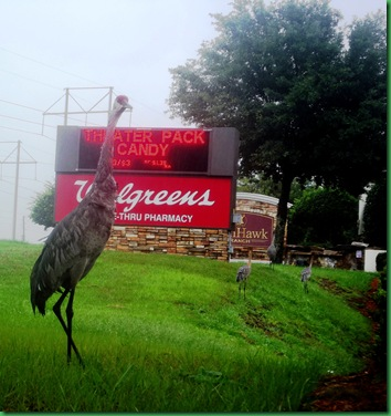 Sand Hill Cranes at Walgreens 010A