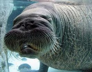 Amazing Pictures of Animals, photo, Nature, exotic, funny, incredibel, Zoo, Walrus,Odobenus rosmarus, Alex (5)