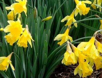 Daffolils