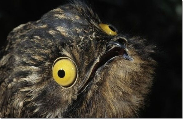 potoo-birds-eyes-11