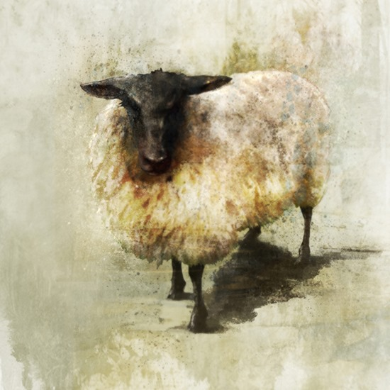 Sheep 1 ken roko