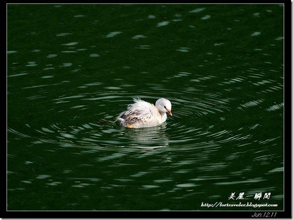 小鷿鷈白子(2011-06-12鯉魚潭)9375