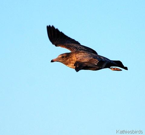 7. seagull-kab
