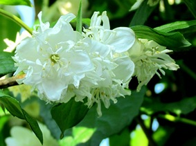 1306300 Jun 22 Nice Smelling White Flowers