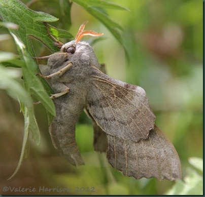 Poplatr-Hawk-Moth-3