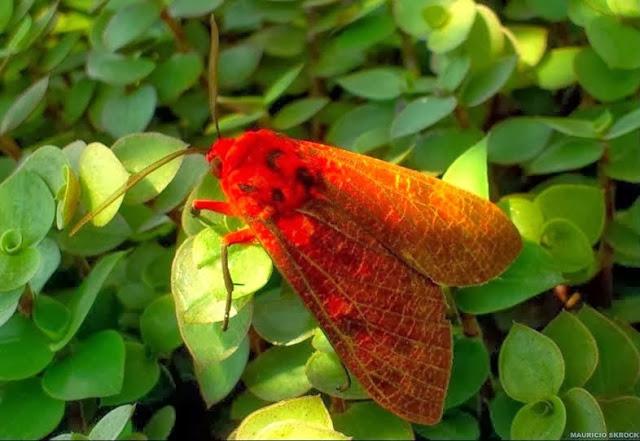 Arctiinae : Elysius cingulatus WALKER, 1856. Environs de Curitiba (Paraná), 6 février 2014. Photo : Mauricio Skrock