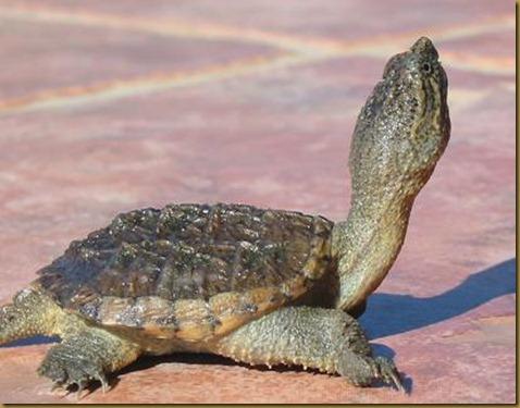 La tortuga mordedora