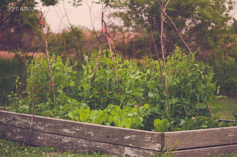 SycamoreLane Photography-Garden 2014 (1)