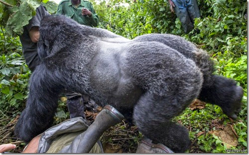 4_CATERS_GORILLA_PUNCH_06-800x498