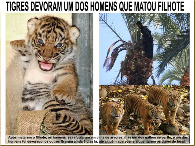filhote_tigre