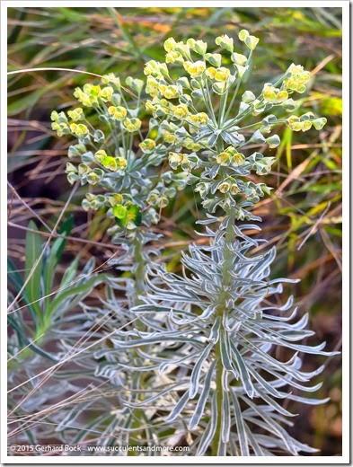 150318_home_026_Euphorbia_Tasmanian_Tiger