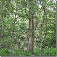 rinda-forest