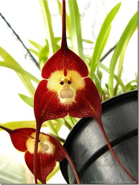 Monkey Orchids (7)