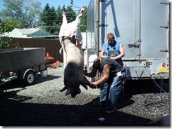 pigs 04