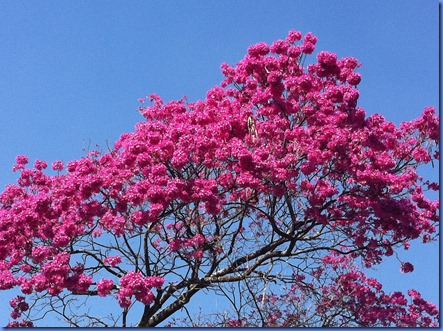 ipe-rosa-ibira1